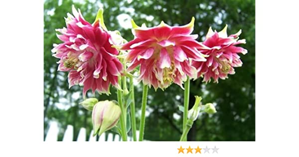 25 Seeds S//H SEE OUR STORE! Comb Pink /& Purple Columbine Mix