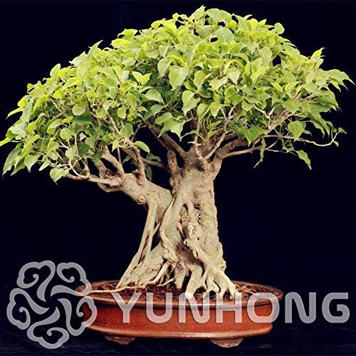 Seed Widely Cultivated Peepal Ficus Religiosa Bonsai 5pcs Family Moraceae Perennial Sacred Fig Bonsai Semi-Evergreen Bodhi Tree