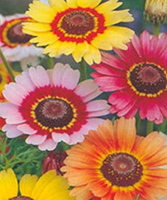 2500 Rainbow Painted Daisy Seeds - Wonderful Cut Flower