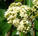 New Japanese Raisin Tree , Hovenia dulcis , 20 + Tree Seeds ( Hardy , Fragrant , Edible )