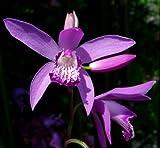 Lavender Pink Hardy Orchid - Bletilla striata - 2 Bulbs