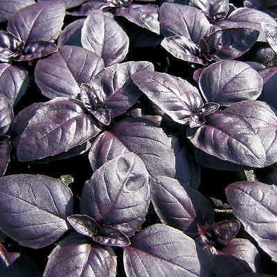rb Basil, 120 Seeds! ()