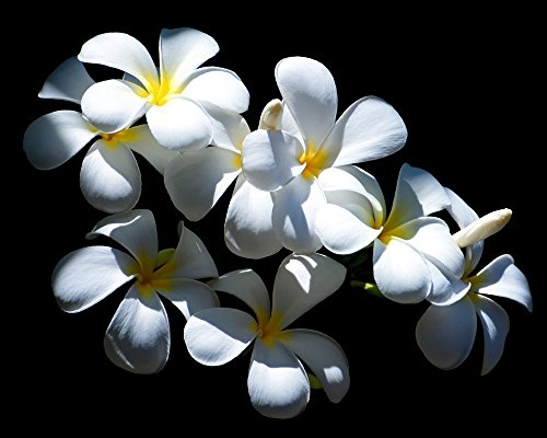 - White Plumeria Picture, Tropical Floral Print, Nature Home Decor, Bedroom Bathroom Flower Wall Art