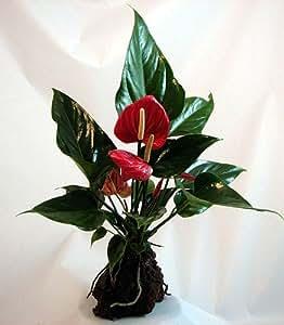Red Anthurium Hawaiian Volcano Rock Bonsai - Great Living Gift