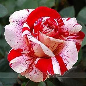 Semillas Zennixplus nuevo rosa rojo de la tira Rose arbusto de flores