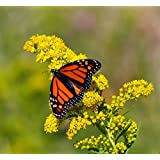 Riddell's Goldenrod Wetland Butterfly Magnet! 5000 seed
