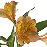 eFlowy - 160 Orange Alstroemerias - Peruvian Lilies Wholesale