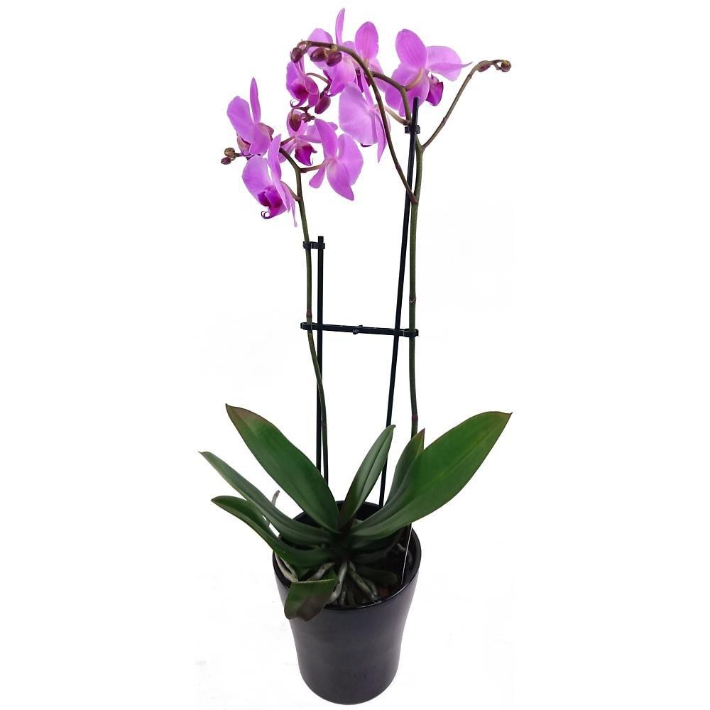 Clare Florist Phalaenopsis Fresh Orchid Plant - Lilac Y-1269-A