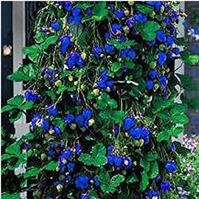 TelDen Seed Garden - 100 pcs/Bag Blue Climbing Strawberry Seeds Perennial Bonsai Plant Seeds Fruits : Garden & Outdoor