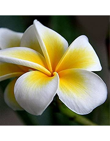 EgBert 100Pcs/Pack Plumeria Semillas Jardín DIY Bonsai Hawaiano Frangipani Decoraciones Flores Semillas - 1