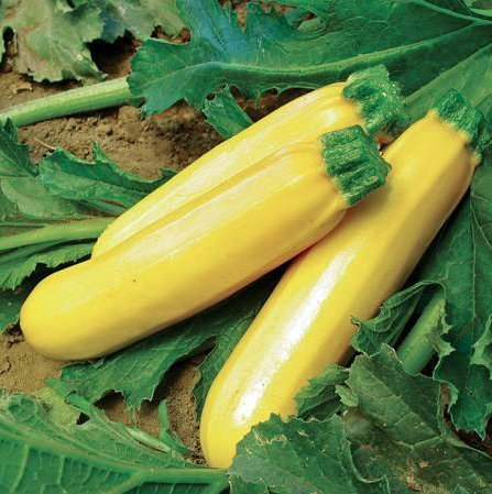 11' Gold Glove (Golden Zucchini Seeds, 15+ Premium Heirloom Seeds, ON SALE!, (Isla's Garden Seeds), Non GMO Organic)