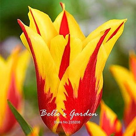 Amazon garden perennial flowers flowers rare 5pcs rare red garden perennial flowers flowers rare 5pcs rare red yellow edge tulip bulbs bonsai tulip flower tulipa mightylinksfo
