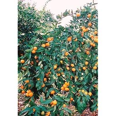 "1 Satsuma Mandarin Orange Fruit 3"" Tree Real Live Plant Seedling : Garden & Outdoor"