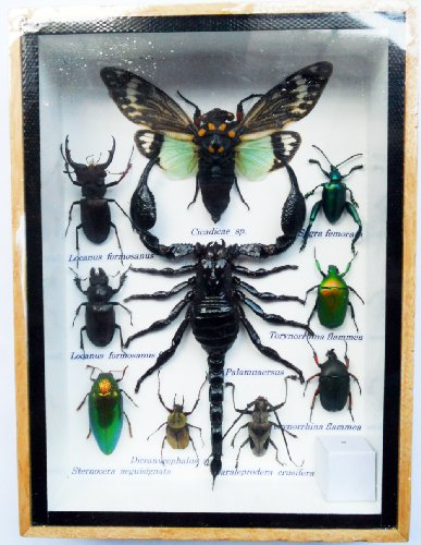 INSECT TAXIDERMY BOXES DISPLAY COLLECTIBLES product image