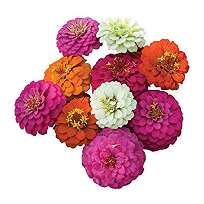 Burpee Cut and Come Again Mixed Colors Zinnia Seeds : Garden & Outdoor
