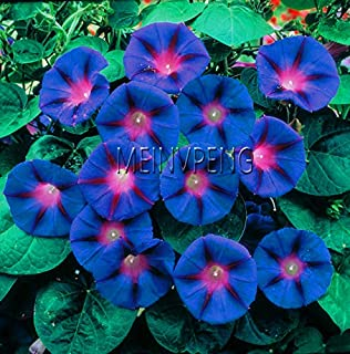 Amazon com : 100 Morning Glory Seeds - Japanese Blue Morning Glory