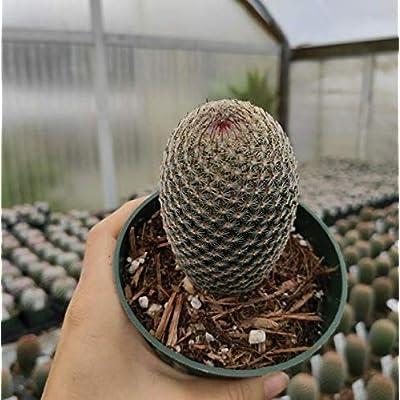 "Fresh Rare Succulent Plant Mammillaria Huitzilopochtli Shown in 4"" Pot Easy Grow #SDP01YN : Garden & Outdoor"