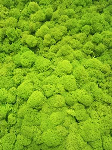 eternaflor Musgo preservado Paquete 500 Gramos Gratis TU ENVIO Color Verde Lima Musgo liofilizado envasado en Espana