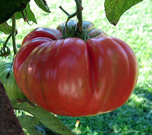 Brandywine Red Tomato Plants Great