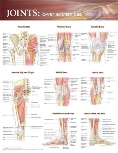Back Pain Poster - Joints of the Lower Extremities Anatomical Chart