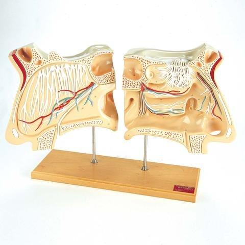 Denoyer-Geppert - Nose and Olfactory Organ Set - -