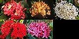 IXORA Plant Tropical Flowering Shrub (Red Pink White Orange Yellow)