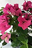 Rijnstar Pink, Bougainvillea Plant (Flowers, Hanging Basket, Bush, Trellis, Patio Tree, Vine), Hanging Basket