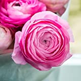 Tecolote Ranunculus Pink - Persian Buttercup Bulbs - 10 XL BULBS (Not Seeds!) - 8+ cm | Ships From Easy to Grow TM