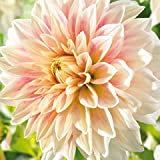Dahlia Ice (1 tuber), Dinner Plate Dahlia Tubers , Great Cut Flowers,Blooms Summer to fall