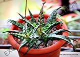 10 Aloe RAUHII Seeds