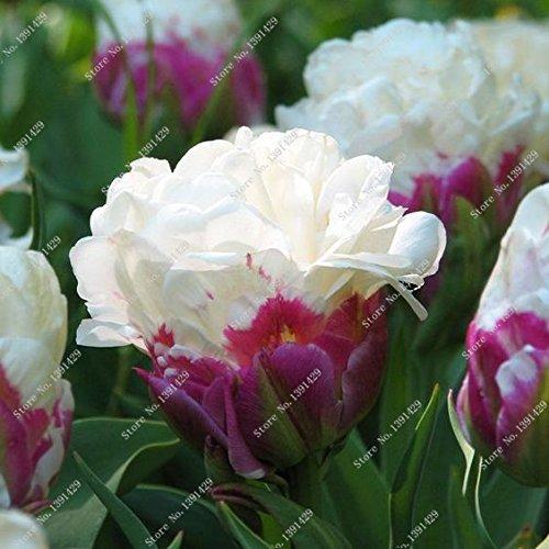 5 Vrai Tulip Ampoules, (pas Tulip Seeds), Bulbes à fleurs Tulipes, Rhizome extérieure bricolage usine, Bonsai Pot pour jardin SVI