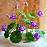 Muti-Color Lotus Seed Hydroponic Aquatic Plants