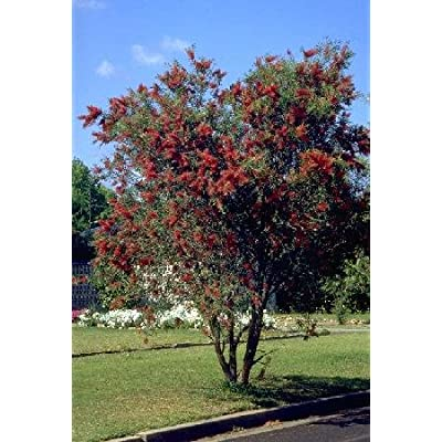 Weeping Bottlebrush Tree 50+ Seeds : Tree Plants : Garden & Outdoor