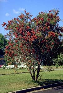 Amazon Com Weeping Bottlebrush Tree 50 Seeds Tree
