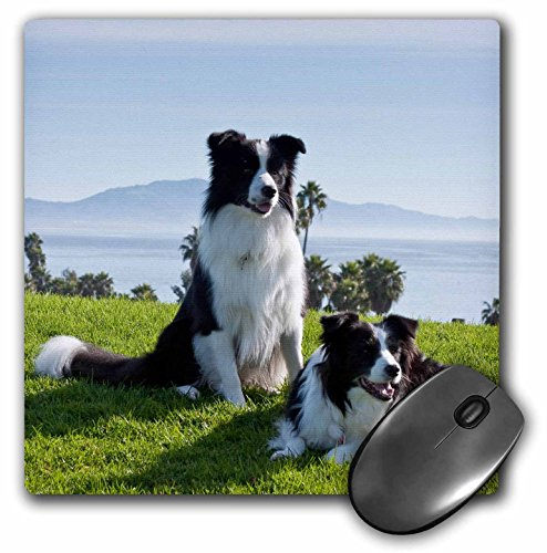 3dRose LLC 8 x 8 x 0.25 Inches Mouse Pad, Two Border Collie Dogs Zandria Muench Beraldo (mp_88785_1)