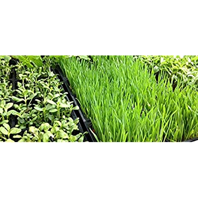 Whole Barley Seeds for Barley Grass Microgreen, Juice Organic Sprouting Seeds 13 Oz Resealable Stand up Pouch Used for Malt for Beer Brewing Malting : Garden & Outdoor