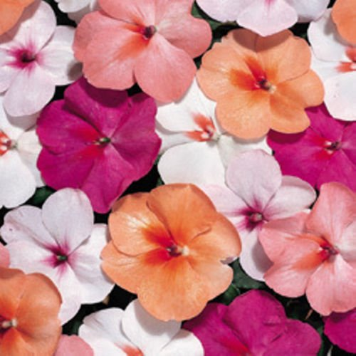 Tempo Series Impatiens Goregeous Colors 30 Seeds 1 of 2 ()