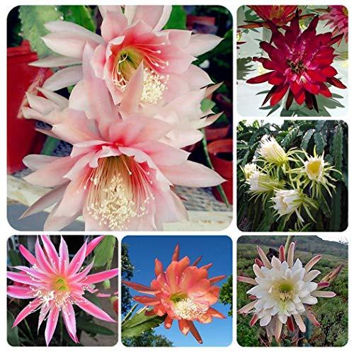 KOUYE GardenSeeds- 100pcs Epiphyllum Flowers Seeds, Flower Seeds Hardy Seed Perennial Bonsai Flower Bulbs Seeds Garden Balcony