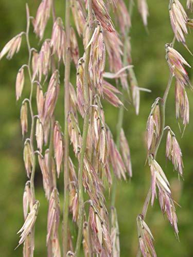 HOT !! - 100 Mesquite/SIDEOATS Grass Ornamental Seeds
