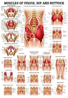 Amazon Com Wellden Product Medical Anatomical Female Pelvis Model