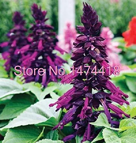 (Seeds 40pcs/Pack salvia Salsa Purple bi-Color Flower Perennial, Drought Tolerant sage Garden Seeds)