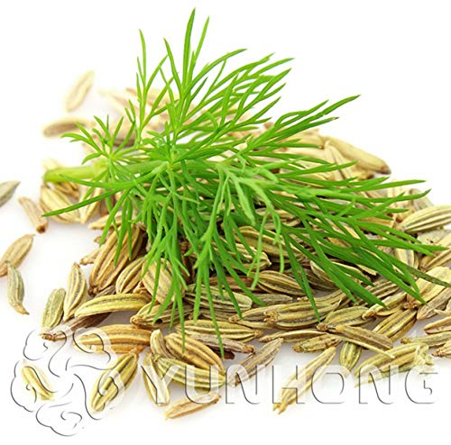 France Dill Bonsai Fennel//Vanilla Plant//French Essential Spices can Stomach Chills 50 pcs