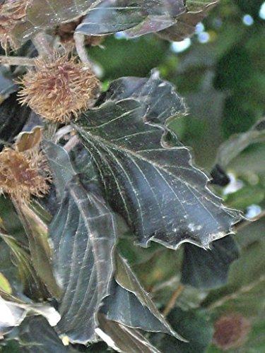 Copper Beech Tree - 15 COPPER BEECH SEEDS - Fagus sylvatica purpurea