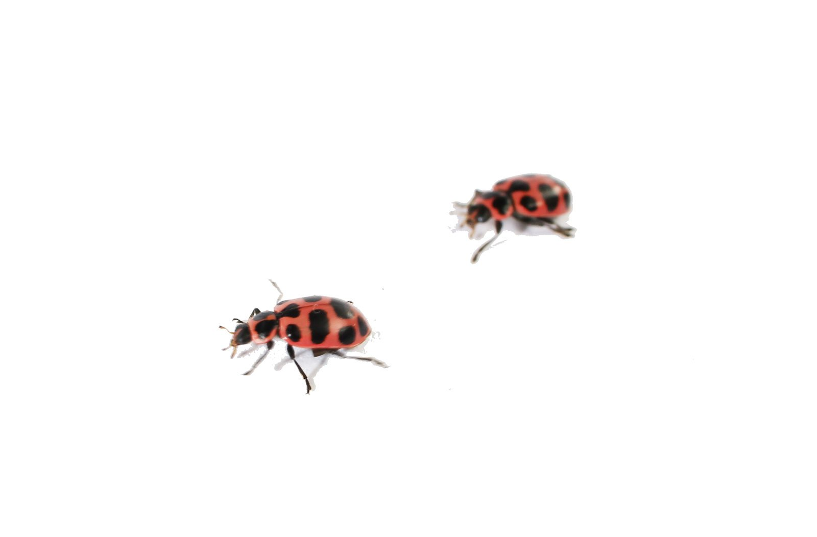 Insect Lore Live Baby Ladybug Larvae - Ladybug Growing Kit REFILL with Ladybug Life Cycle Toy Figurines - SHIP NOW by Insect Lore (Image #6)
