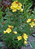 "EVENING PRIMROSE 'Fireworks' ~Yellow~ "" Oenothera Fruticosa"" Perennial SEEDS"
