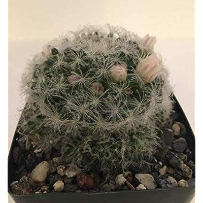 Cheap Beautiful Feather Cactus Mamillaria Plumosa Cactus Live Plant Get 1#AEP01YN : Garden & Outdoor