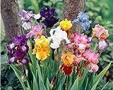 5 Large Mixed Bearded Iris Rhizomes