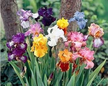 5 large mixed bearded iris rhizomes amazon com grocery gourmet food