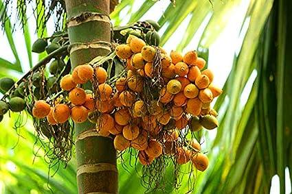 Malabar supari,Arecanut,areca palm betel nut palm seeds from