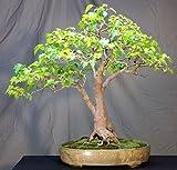 Amur Maple 10 Seeds - Acer ginnala - Bonsai/Outdoors